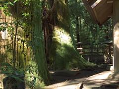 Akagi Shrine (elminium) Tags: tree japan shrine akagi gunma akagishrine dmcg1