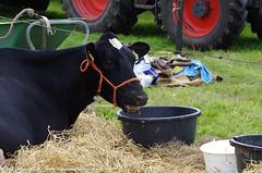 IMGP5537-047 (hugomekersfotografie) Tags: delta hugo dieren crv koeien boerderij 2015 boeren veehouderij brownswiss roodbont veeteelt tractoren rundvee zwartbond rijkse streeknieuws hugomekersfotografie fokveedageibergen