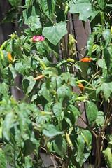 Roadside chillies (Geoff_B) Tags: thailand october maehongson unprocessed 2015