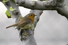 Robin (keynowski) Tags: wild bird nature robin animal ku hayvan canon400mmf56lusm yabanhayat kzlgerdan canon70d