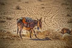 #petsandanimals #photography #nature #hdr #colorful #love #freetoedit #food  #animal #animals #Sheep #lamb #donkey #donkeys # # # # # # # Sonyalpha #sony #alpha  #qaseem # # # #_ (photography AbdullahAlSaeed) Tags: food love nature animal animals photography colorful sheep donkeys sony donkey lamb alpha hdr  petsandanimals    qaseem       freetoedit