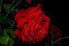Rose (betadecay2000) Tags: beta rosen rosengarten beet beete pflanze flower plant plants green grün rosenbusch rosebush dornen dorn blühen rosenstrauch zierpflanze blume blütenblatt outdoor schärfentiefe