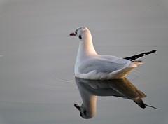 Gull (Deanne Wildsmith) Tags: