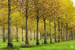 2015-11-08_Q8B4300 © Sylvain Collet.jpg (sylvain.collet) Tags: autumn trees france leaves automne leaf arbres sur feuilles marne vairessurmarne vaires