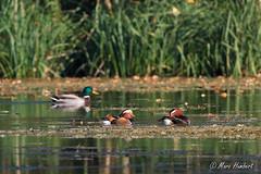IMG_6291.jpg (marc1bert) Tags: oiseaux faune canardmandarin oiseauxdeau