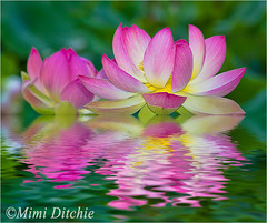 Lotus Flowers (Mimi Ditchie) Tags: water flood lotus getty gettyimages lotusflowers flamingpear mimiditchie mimiditchiephotography
