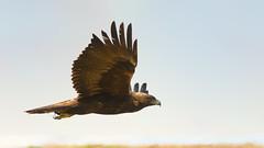 Golden Eagle In-Flight Profile (chongjiayi) Tags: golden fly eagle flight flyby aquila chrysaetos