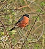 Bullfinch (Olive Taylor. Thank you for your visit.) Tags: nature birds canon feathers northumberland bullfinch beaks flikcr northeastengland holywellpond