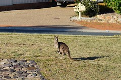 Kangaroo and joey in suburban Canberra (AndyBrii) Tags: australia canberra banks conder