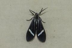 Honduran Hypocrita Tiger Moth (Odonata457) Tags: tiger bonito moth honduras lodge pico atlántida hypocrita atlã¡ntida hypocritaalbimacula