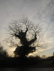 Obwohl Silberpappeln (Populus alba) ber prchtiges Laub verfgen, bedienen sie sich doch auch manchmal beim Efeu (Hedera helix); Bergenhusen, Stapelholm (6) (Chironius) Tags: morning trees tree silhouette sunrise germany deutschland dawn rboles alba boom amanecer arbres rbol alemania dmmerung albero bume sonnenaufgang allemagne arbre rvore hedera morgen baum trd germania ochtend schleswigholstein matin gegenlicht  morgens zonsopgang mattina aube ogie efeu aa  pomie morgendmmerung  populus morgengrauen  apiales araliaceae pappeln  salicaceae niemcy dageraad  rosids malpighiales bergenhusen asterids   stapelholm  pomienie araliengewchse weidengewchse malpighienartige szlezwigholsztyn fabids campanuliids araloideae