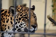 Jaguar - Panthera Onca (MrTDiddy) Tags: female mammal zoo big kat feline bigcat antwerp jaguar zo geel antwerpen zooantwerpen grote onca panthera vrouwelijk zoogdier grotekat