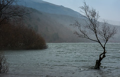 'That Tree' struggling against the elements (cliveg004) Tags: lake tree rain wales flood wind llanberis snowdonia thattree lakepadarn