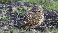 Burrowing Owl (Bob Gunderson) Tags: california birds northerncalifornia southbay owls athenecunicularia burrowingowl coyotevalley