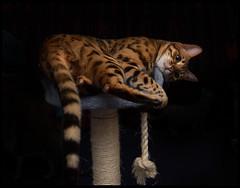 _JM16298 (saltley1212) Tags: cats bengal