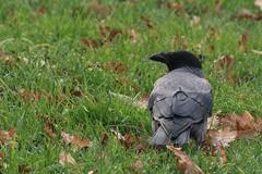 Cornacchia-2245 (ninominervino) Tags: park italy parco milan bird italia milano north nord uccello cornacchia