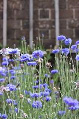 Cornflowers (Richimal) Tags: flowers plants garden hamptoncourt walledgarden hamptoncourtpalace cornflowers