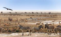 The Water Hole (judepics) Tags: claypan waterhole africa lion namibia oryx springbok vuture zebras etosha national park