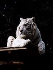 Tigre blanc (elodiemuhlach) Tags: zoo amneville zooamneville animaux tigreblanc tigre flin amnville