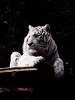 Tigre blanc (elodiemuhlach) Tags: zoo amneville zooamneville animaux tigreblanc tigre félin amnéville