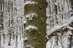 ckuchem-1622 (christine_kuchem) Tags: baumrinde buche bume eiche eis frost hainbuche natur pfad pflanzen ruhe samen spuren stille struktur wald weg wildpflanzen winter einsam kalt schnee ste