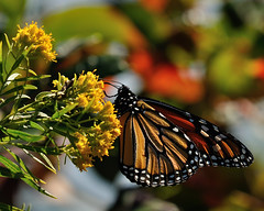 The migration is On. (l_dewitt) Tags: migration monarchbutterfly monarch butterflyphotos butterflyimages butterflys butterfly earthnaturelife southeasternconnecticut southernnewengland naturephotos natureimages nationalwildlifemagazinephotogrouppool nature monarchbutterflymigration butterflymigration 2016fallmonarchmigration wildlifephotos wildlifeimages 2016eastcoastmonarchmigration connecticutwildlife newenglandwildlife newenglandcoast nikonwildlifephotos nikonimages nikonphotos nikond5000photos coastline
