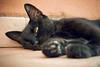 Cat sleeping beside garden (CoriJae) Tags: gatto gattonero animaledomestico felino diffidente soffio selvatico polpastrelli dormiente italy