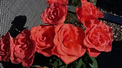 Roses (Eddie Crutchley) Tags: nature beauty outdoor sunlight flowers roses simplysuperb greatphotographers
