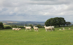 Northumberland NT Park (Adam Swaine) Tags: uk swaine 2016 northumberland hills countryside england britain nationalparks grass farming animals lambs northeast trees fields summer seasons canon rural british counties