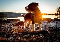 Maya (Ari Kalliala) Tags: koira dog nikon d7100 spanishwaterdog espanjanvesikoira perro spanskvattenhund perrodeaguaespaol pdae swd tampere nsijrvi sigma1750mmf28