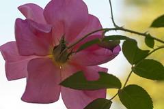 Rose from behind (Shotaku) Tags: alltherage rose roses rosa pink sky macro closeup flowers flower