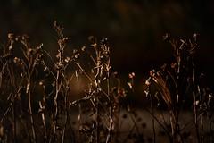 mallows wither (tom bourdot) Tags: autumn bokeh capemaypoint dark depthoffield dusk evening light magichour mallow marsh marshmallow natur nature nikkor nikond5300 nj outside plant pond refuge rural wetlands automne capturenx2 dimming newjersey wildflower