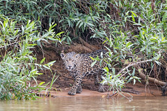 Jaguar cub in the foliage (Tambako the Jaguar) Tags: jaguar big cat young cub foliage vegetation beach sand water river looking careful wildanimal wild wildlife nature pantanal matogrosso brazil nikon d5 explore