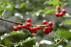 Holly Berries (Read2me) Tags: pree she cye autumn green red berry holly many wet drop rain dof thechallengefactory ge