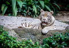 White Tiger (redsk82) Tags: white tiger whitetiger singapore singaporezoo zoo beautiful strong green