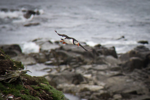 Puffins at Elliston 3