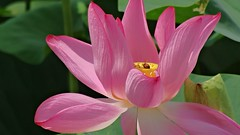 a bee on the lotus (oneroadlucky) Tags: nature plant flower lotus waterlily pink animal bee