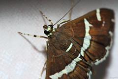 Moth (Franco Gavioli) Tags: 2016 fragavio francesco gavioli canoneos600d canonef100mmf28macrousm yongnuoyn568exiiettl diffusoreflash augusta sicilia sicily moth falena