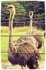 Ei! Também quero sair na foto!  Hey! I also want to go out on the photo!   #animais #animals #avestruz #ostrich #zoologicorj #zoorj (Betanandez) Tags: animals animais zoologicorj avestruz ostrich zoorj