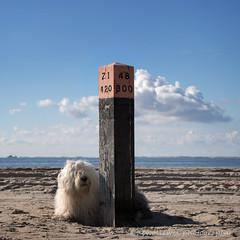 greetings from Ameland (dewollewei) Tags: old english sheepdog oldenglishsheepdog oldenglishsheepdogs oldeenglishsheepdog oes bobtail dewollewei sophieandsarah sophieensarah ameland beach amelandfoto strand waddeneilanden wadden hollum clouds sky