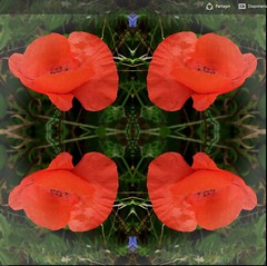 2016-10-12 symetrical poppies 2 (april-mo) Tags: symmetrical symmetry poppies coquelicots wildflowers redpoppy redflower