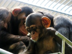 Pan troglodytes --  Chimpanzee 1232 (Tangled Bank) Tags: japan japanese asia asian asahiyama zoo zoological gardens hokkaido animal pan troglodytes chimpanzees 1212 ape primate
