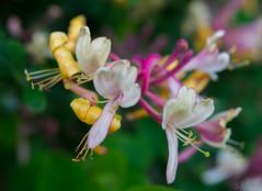 Honeysuckle at East Riddleston Hall (karmicnull) Tags: eastriddlestonhall flowers honeysuckle settle settle2016