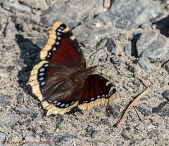 N. Antiopa (Timo Halonen) Tags: nymphalis antiopa suruvaippa camberwellbeauty fjril tagfalter farfalla papillion vlinder liblikas sommerfugl nikon dx fx d5200 trauermantel