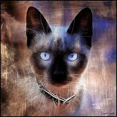 (2376) Cat (QuimG) Tags: cat gat gato retoc retoque retouch creativity natura nature naturaleza pet panasonic quimg quimgranell joaquimgranell afcastelló specialtouch obresdart