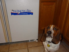 Guess who tried to eat the magnet (MSmicro) Tags: dog basset hound pet