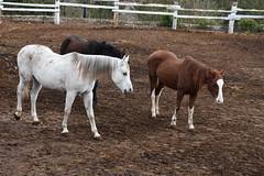Cavalls a Cal Perell (esta_ahi) Tags: lleida cavalls caballos equusferuscaballus equus ferus caballus equidae mammalia animales domsticos fauna lametlladesegarra segarra lasegarra lrida spain espaa