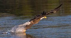Early morning catch (MYeatts) Tags: va virginia jamesriver nikon d610 raptors eagles bald