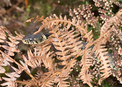 Grass snake tongue flicking (gillian.pullinger) Tags: snake grasssnake reptile natrixnatrix wildlife animal surrey frenshamgreatpond