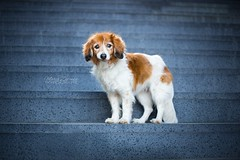 Stairway (Maria Zielonka) Tags: hund hunde dog dogs hollandse herder herdershond holländischer schäferhund dutch shepherd kooiker kooikerhondje heimat hafen hamburg port mariazielonkafotografie photography outdoor
